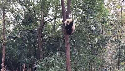 動画:おやつのためなら! 「おいで」も理解、パンダの争奪戦