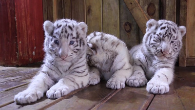 動画:三つ子のホワイトタイガーが一般公開 雲南野生動物園