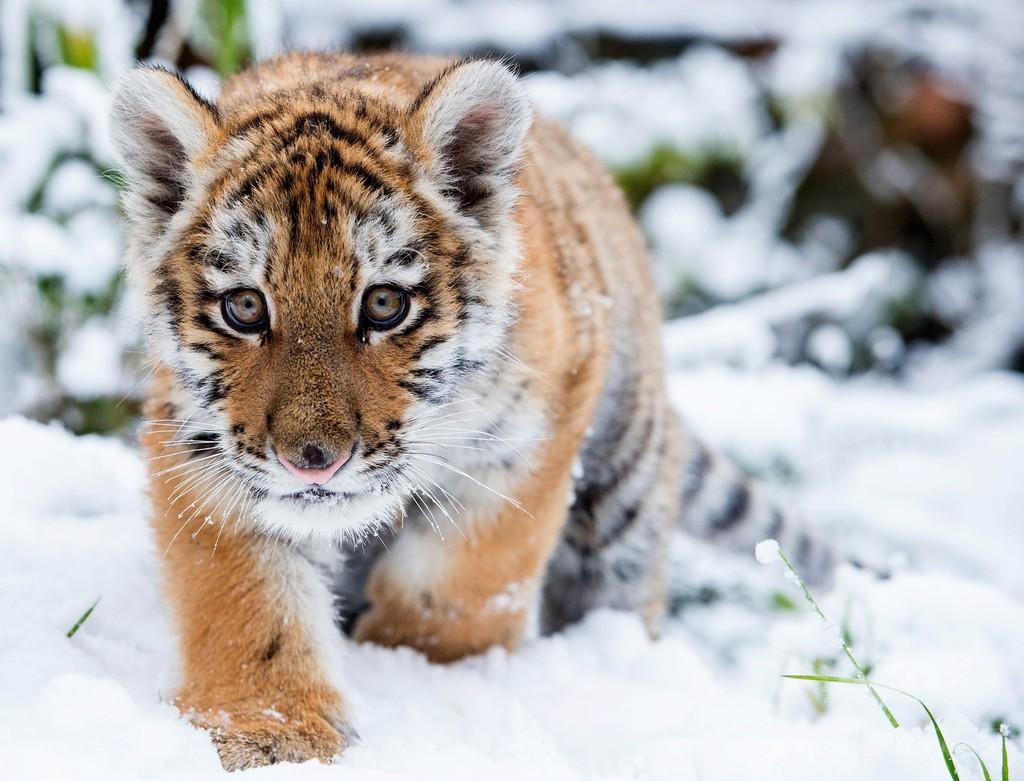 雪の中もへっちゃら?シベリアトラの赤ちゃん ドイツ