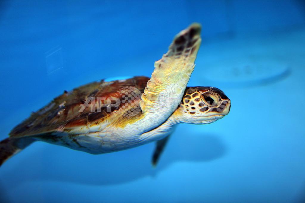 アオウミガメのプラスチックごみ摂取が急増、豪研究