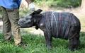 イッカクサイの赤ちゃんを保護、インドの森林地帯