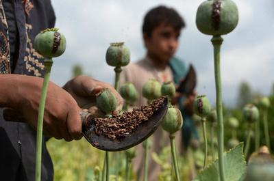 アフガニスタンのアヘン生産、干ばつや価格下落で減少 国連報告書