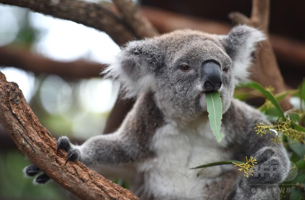 愛されるコアラの暗い未来、オーストラリア