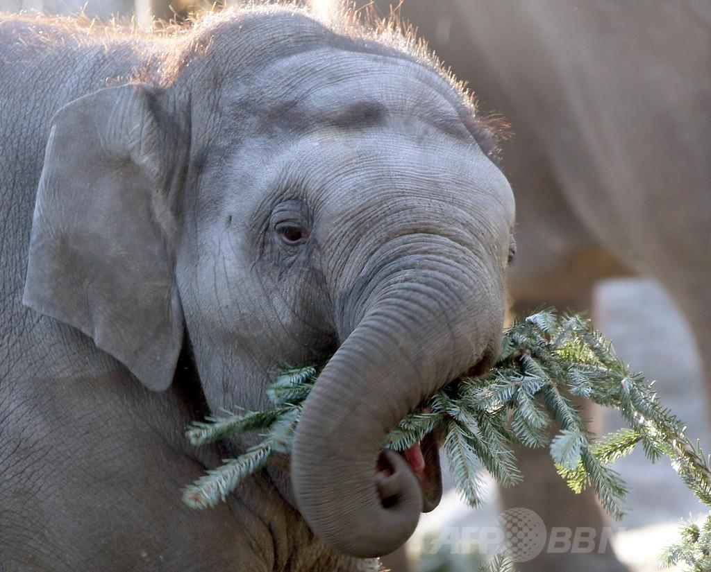 「クリスマスツリーも食べます」、独動物園のゾウ