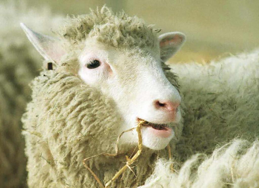 クローン羊ドリー、早期老化ではなかった 英研究