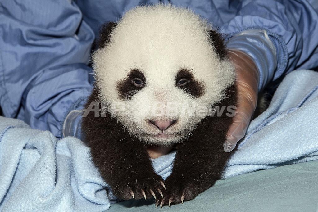 サンディエゴの赤ちゃんパンダ、初めての予防接種