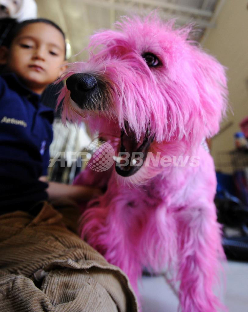 ピンクの犬も登場、エルサルバドルのドッグショー