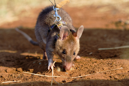 地雷と結核菌を嗅ぎ出す「英雄ネズミ」たち、タンザニア