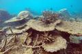 白化を逃れたサンゴ礁は翌年、抵抗力が強まる グレートバリアリーフ研究