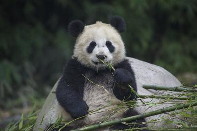 動画:赤ちゃんパンダ4頭、都江堰市の「住民身分証」取得