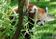 お見合いしに来たレッサーパンダ、ドイツ