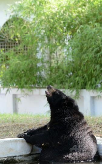 暑い日はヒグマだってプールで涼みたい! インド