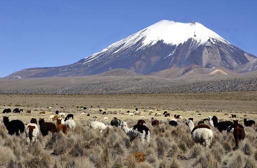 ラマの毛にも金融危機が影響、ボリビア