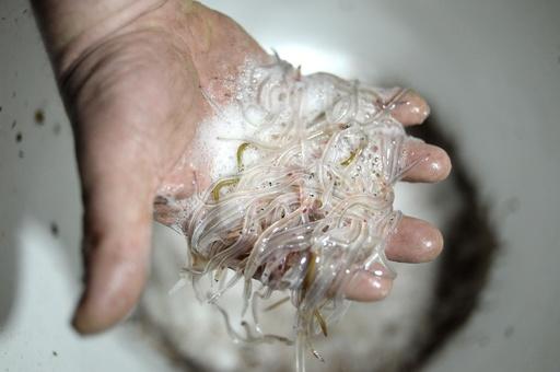 ウナギの稚魚25万匹超を密輸、クロアチアで韓国人2人逮捕
