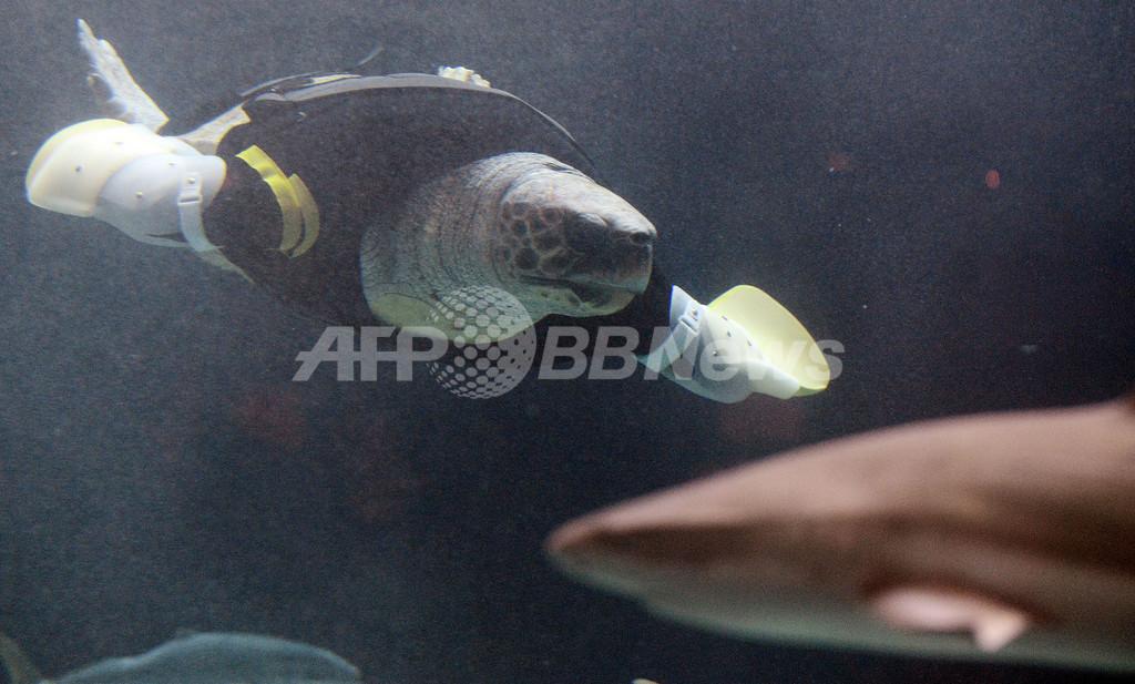 両前肢失ったウミガメ、人工ヒレで試験遊泳 27回目の試み