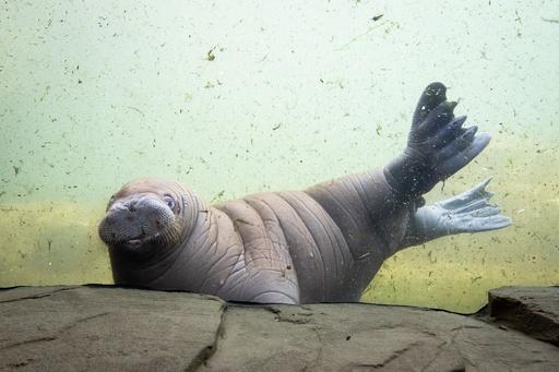 赤ちゃんだけど泳ぎは得意、独動物園のセイウチ