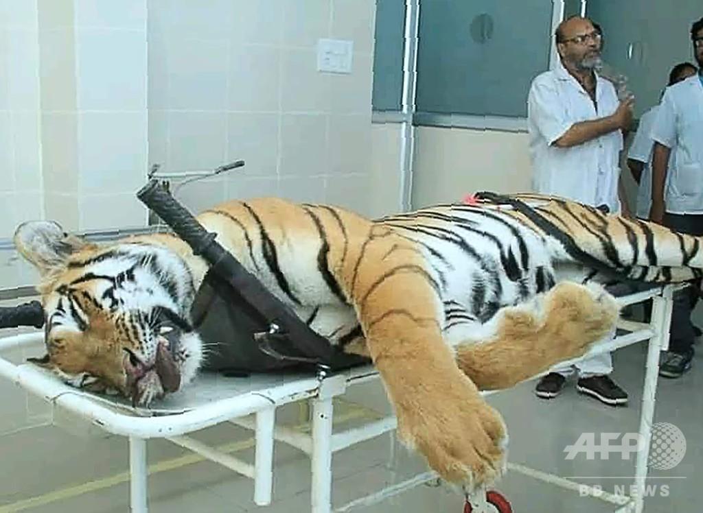 13人殺害の「人食いトラ」射殺、駆除の手法めぐり批判も インド