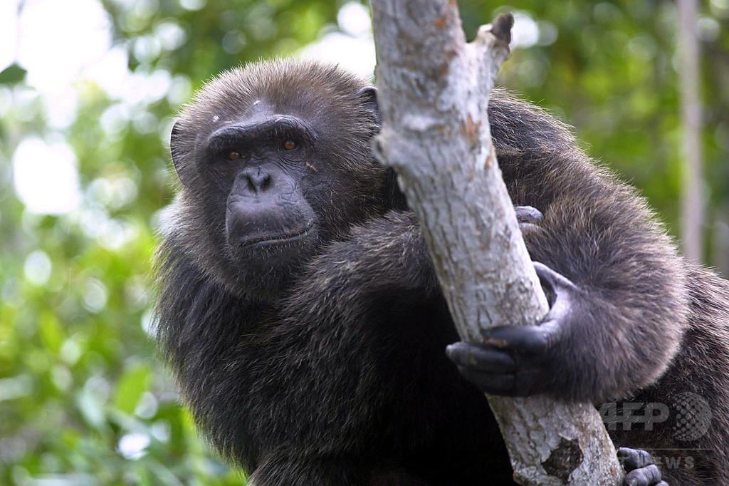 ヤシ酒飲むチンパンジー、進化理論解明の手がかりに 研究