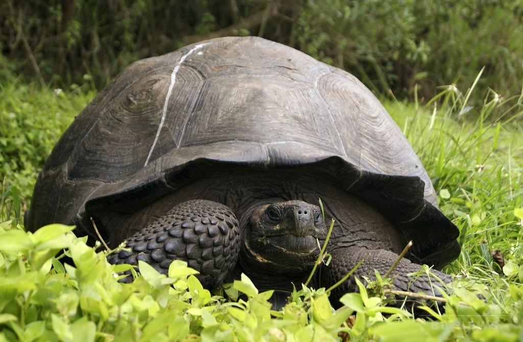 新種のゾウガメを特定、ガラパゴス諸島