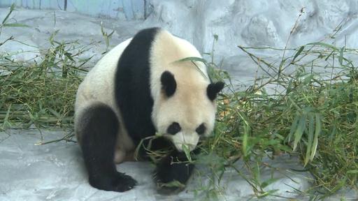 動画:海南省に初のパンダ 動物園で一般公開
