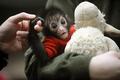 クモザルの赤ちゃん、人工保育ですくすく
