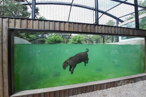 【フランス】水中でガブリ! お魚くわえたジャガー、ネコ科だけど泳ぎは得意 [無断転載禁止]©2ch.netYouTube動画>2本 ->画像>20枚