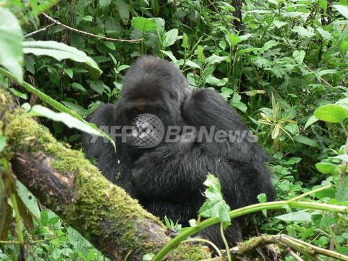 国際ニュース:AFPBB News世界一有名なマウンテンゴリラが死亡、映画『愛は霧のかなたに』にも出演