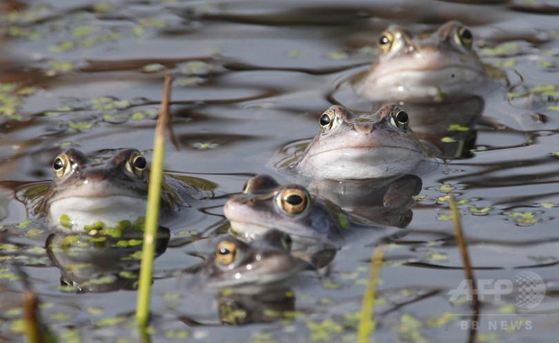 カエルツボカビは朝鮮半島原産、両生類の国際取引禁止を呼び掛け 研究