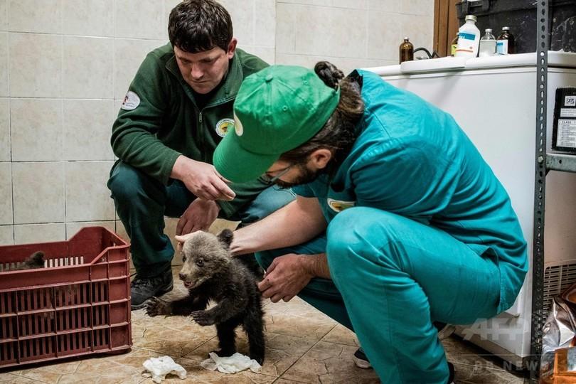 ママはどこ? ブルガリアで迷子の子グマ3頭を保護