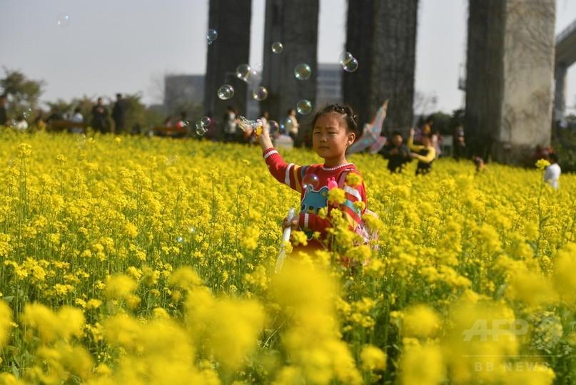 一足先に春の訪れ、菜の花が満開 中国・福建