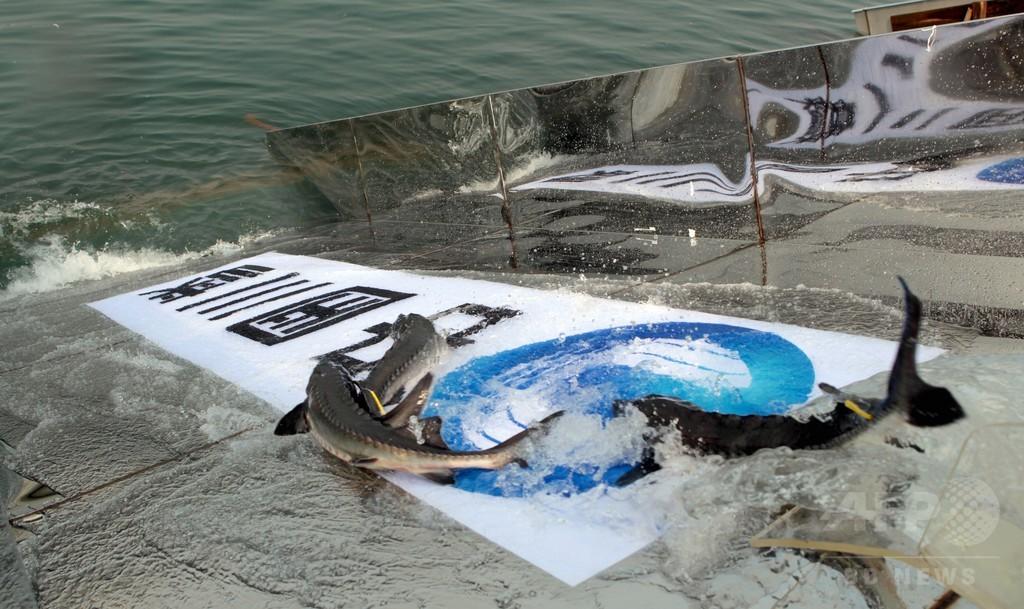 野生のカラチョウザメ、繁殖確認できず 中国