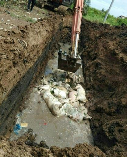感染死の豚1000頭、川などに投棄 インドネシア
