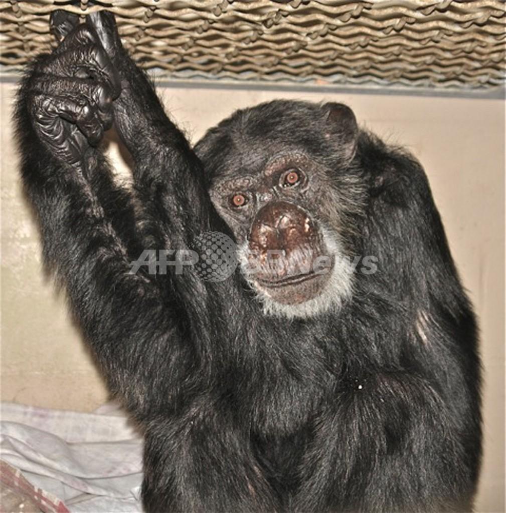 映画『ターザン』のチンパンジーが大往生、80歳