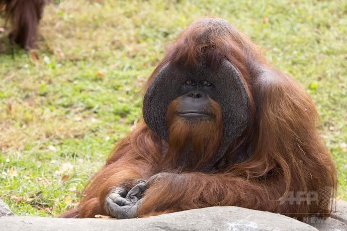 手話できるオランウータン「チャンテック」死ぬ、39歳 米動物園