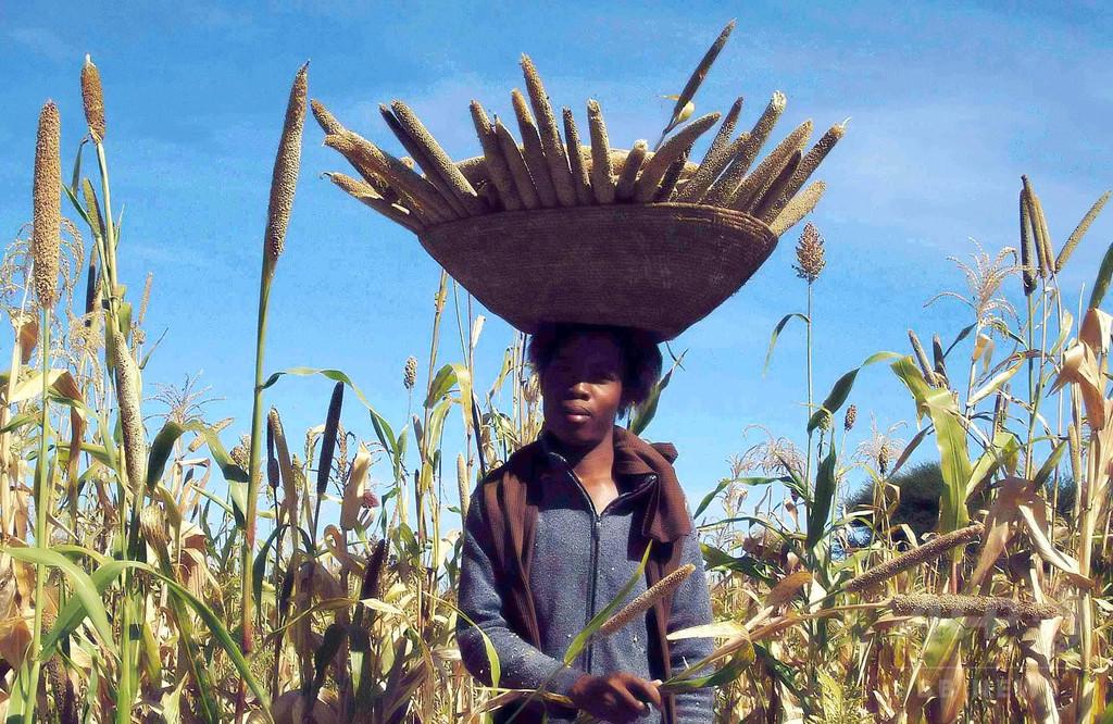 雑穀トウジンビエのゲノム初解読 乾燥地帯救う助けに 研究
