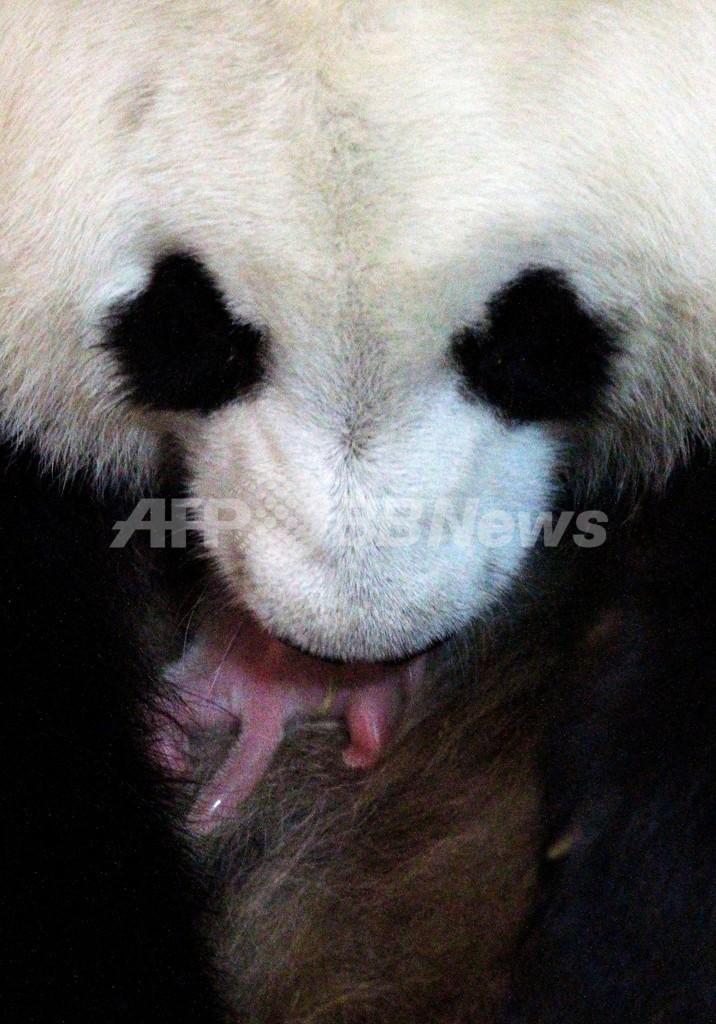マドリードの動物園で赤ちゃんパンダ誕生