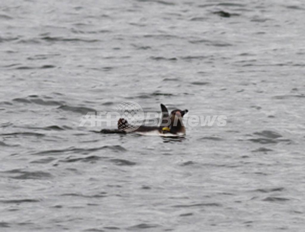 葛西臨海水族園の脱走ペンギン、捜索打ち切り