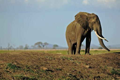 タンザニアのゾウが「壊滅的減少」 、監視団体