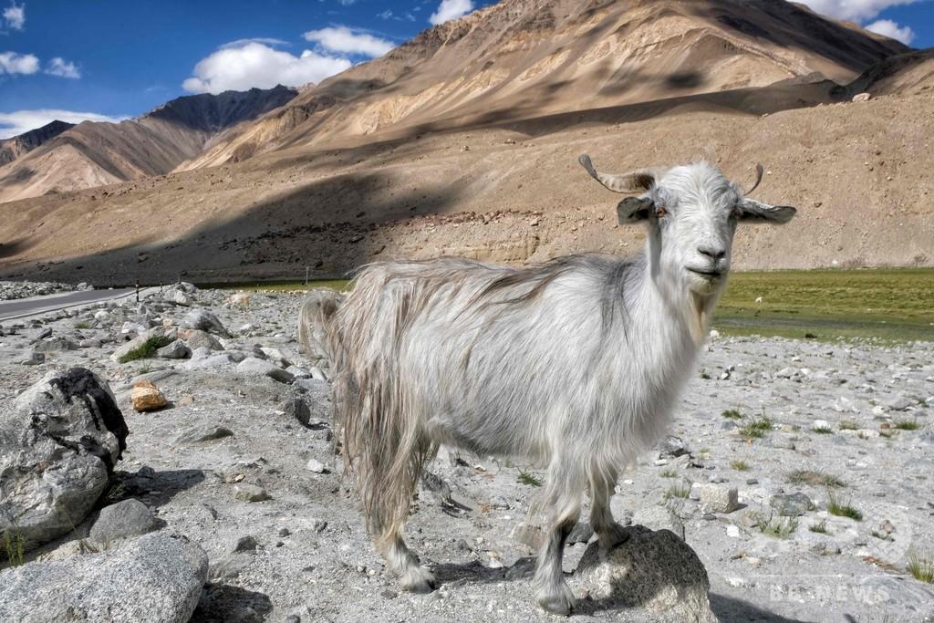 高級毛織物「パシュミナ」原毛不足の懸念 中印対立の影響でヤギ大量死