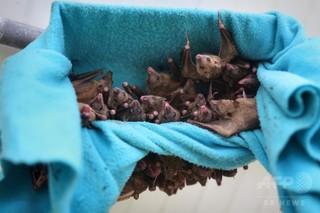 子コウモリ、群れの仲間から鳴き声の「なまり」を学習 研究