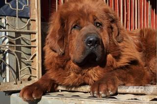 山東・臨沂で飼育を禁止する大型犬リストを発表