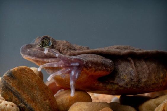 ついに「ジュリエット」を発見、独りぼっちのカエル「ロミオ」との繁殖に期待 ボリビア