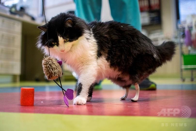 また自由に走れるニャン 両後ろ脚失った野良猫にバイオニック義肢