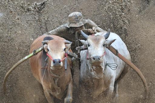 泥を浴びてもしっぽを離すな! インドネシア伝統の牛レース