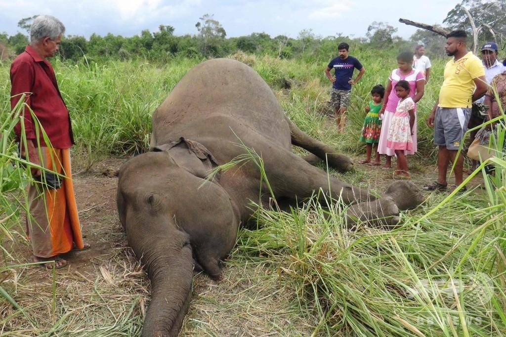 スリランカでゾウ7頭の死骸発見、畑荒らしに怒った村人が毒殺か