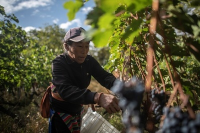 ヒマラヤ山麓で造る中国製高級ワイン、モエ・ヘネシーの挑戦
