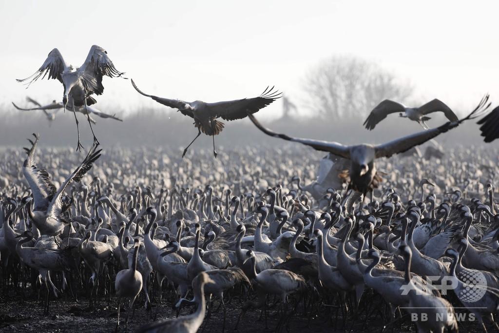 イスラエルの湖にツルの群れ、5万羽が越冬