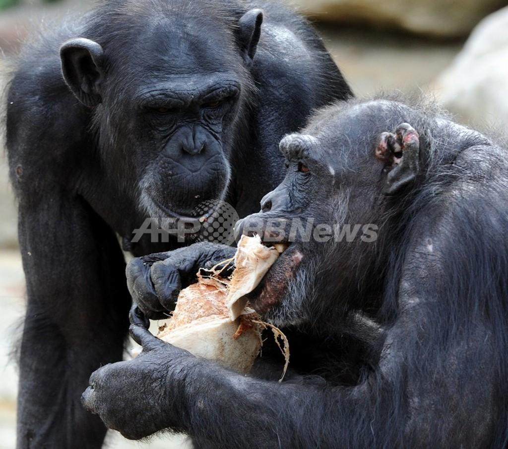 チンパンジーにも「平等」の概念あり、米実験で証明