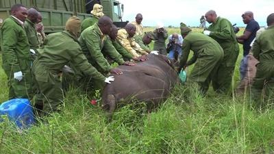 動画:絶滅危惧のクロサイ8頭死ぬ、新保護区への移送後 ケニア
