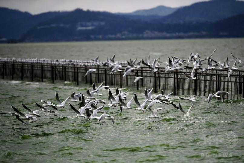 越冬のユリカモメ第1陣が飛来 中国・雲南省